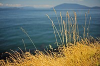 Idaho fescue (Festuca idahoensis) grass, East Point, Saturna Island, British Columbia, Canada