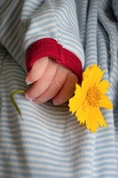 The hand of a baby boy holding a Coreopsis flower