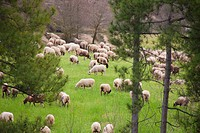 Ovis orientalis aries. Sheeps grazing in the forest. Photo taken in Pinós, Lleida, Catalonia, Spain, Europe.