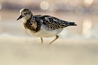 Ruddy Turnstone - Arenaria interpres, Crete