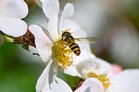 Hoverfly landing on Rose flower.