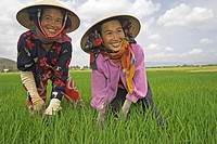 Women in conical hats work in rice paddy Vietnam