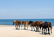 wild horses that roam the beaches of Corolla, NC, USA