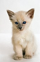 Balinese Domestic Cat, Kitten against White Background