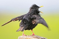 Spotless Starling. Sturnus unicolor. Badajoz. Extremadura. Spain