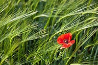 Single red poppy amongst wheat field along the Camino de Santiago