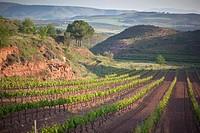 Field of grape vines growing near Najera, La Rioja region, Spain