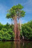 Mangrove swamp in the Natural Reserve of Las Cabezas de San Juan in Puerto Rico