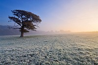 An oak tree stands in a frosty field at dawn  Wrington, North Somerset, England, United Kingdom