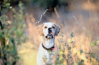 Pointer hunting dog breed dog fiery, faster than given in the game as good as it is the dog