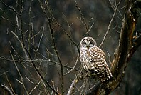 Barred owl, Strix varia, in late fall among tree branches looking directly at viewer