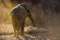 An adult african elephant (Loxodonta africana) chasing away a herd of Burchell´s zebras (Equus burchelli), Botswana, Africa