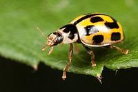 Fourteen-spotted Lady Beetle Propylea quatuordecimpunctata, West Harrison, Westchester County, New York, USA