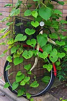 A bicycle that has been parked for too long, with a vine growing all over it.