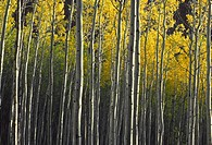 Evening light and shadows on trunks and yellow autumn leaves of quaking aspen Populus tremuloides in fall, White River National Forest, Colorado, USA