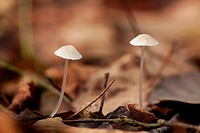 Earthy Inocybe, Herperduin, Herpen, The Netherlands