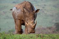 White Rhinoceros Charge Ceratotherium simum Hluhluwe-Imfolozi Game Reserve, Kwazulu-Natal, South Africa.