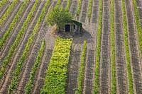 vine yards in Tuscany