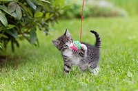 Kitten, playing with toy ball in garden, Lower Saxony, Germany