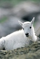 MOUNTAIN GOAT Oreamnos americanus kid resting, Mt  Evans Wilderness, Rocky Mountains, Colorado, USA
