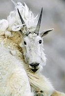 MOUNTAIN GOAT Oreamnos americanus adult shedding, Rocky Mountain National Park, Colorado, USA