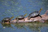 WESTERN PAINTED TURTLE Chrysemys picta bellii, three sunning themselves on a log, National Bison Range, Montana, USA