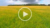 The wind that shakes the Barley _ seamless loop