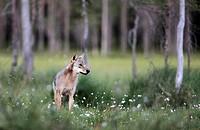 Wolf Kuhmo Finland.