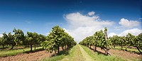 A cognac vineyard in the Grande Champagne area, Saint Brice, Charente, France