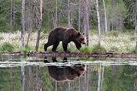 Brown Bear (Ursus arctos), Kuhmo Finland Sweden.