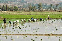 Farmers planting rice in a paddy field near Chiang Mai, Thailand