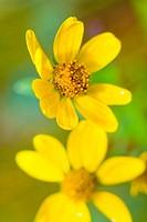 Yellow wildflowers, Lake Alice, Wyoming, USA