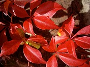 Vitis climber red leaves