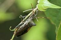 Twig wilter (Holopterna alata)