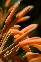 Aloe Ferox Flowers