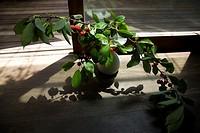 Cherries (Prunus)