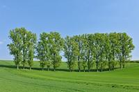 Tree row in field, spring, Reinheim, Hesse, Germany