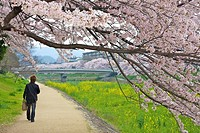 Cherry blossom trees in full bloom hanging over a path beside the Takano river