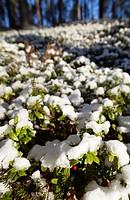 First snow covers lingonberry  Vaccinium vitis-idaea  shrubs at Autumn, LocationKirvesjärvi,Rokuanvaara,Rokua,Rokuan National Park, Rokuan kansallispu...