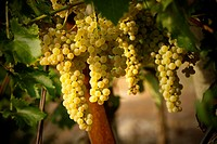 Salento region in South East Italy: grapes in a vineyard