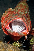 An adult Tomato Cod, or Grouper, Cephalopholis sonnerati, being cleaned by a Cleaner Shrimp, Lysmata amboinensis  The fish has its mouth wide open to ...