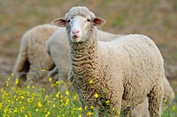 Merino Sheep, Extremadura, Spain