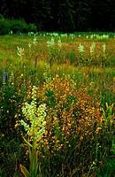In summer wildflowers bloom in the Lake Tahoe Basin of Northern California