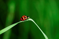 Red color of ladybird, Borneo
