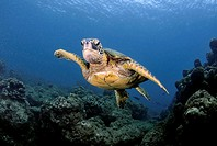 Green sea turtle, Chelonia mydas, Ko´olina, Oahu, Hawaii, North Pacific.