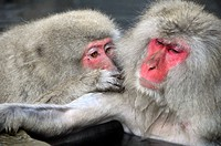 Japanese macaques, Macaca fuscata, in social grooming behavior inside natural thermal spring, Jigokudani Monkey Park, Joshinetsu Kogen National Park Y...