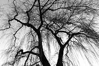 weeping willow trees in Jericho Park, Vancouver, BC, Canada.