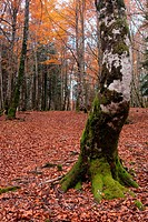 Irati forest, Navarra, Spain