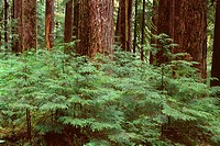 Temperate rain forest with young western hemlock saplings beneath large trunks of mature western hemlock, Sol Duc Valley, Olympic National Park, Washi...