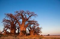 Baines Baobabs in Nxai Pan National Park, Botswana